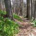 Czosnek niedźwiedzi - zdrowie prosto z lasu